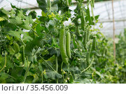 Green peas growing in hothouse. Стоковое фото, фотограф Яков Филимонов / Фотобанк Лори