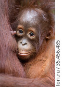 Bornean orangutan (Pongo pygmaeus) Tanjung Puting National Park, Central Kalimantan, Borneo, Indonesia. Стоковое фото, фотограф Maxime Aliaga / Nature Picture Library / Фотобанк Лори