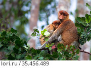 Proboscis monkey (Nasalis larvatus) female with baby, Tanjung Puting National Park, Central Kalimantan, Borneo, Indonesia. Стоковое фото, фотограф Maxime Aliaga / Nature Picture Library / Фотобанк Лори