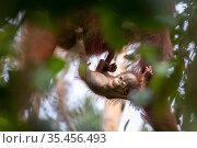 Bornean orangutan (Pongo pygmaeus) female with infant, urinating, Tanjung Puting National Park, Central Kalimantan, Borneo, Indonesia. Стоковое фото, фотограф Maxime Aliaga / Nature Picture Library / Фотобанк Лори