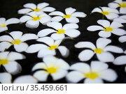 Schöne weiße tropische Blumen, schwimmen im Teich, (Frangipani Blumen) Стоковое фото, фотограф Zoonar.com/manfred2000 / easy Fotostock / Фотобанк Лори