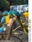 Два сине-жёлтых ара (Ara ararauna) чистят перья друг другу. Стоковое фото, фотограф Виктор Карасев / Фотобанк Лори