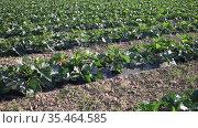 Young zucchini plants growing on farm land at sunny day. Стоковое видео, видеограф Яков Филимонов / Фотобанк Лори