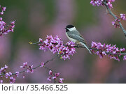 Carolina chickadee (Poecile carolinensis) perched on blossoming Eastern redbud (Cercis canadensis) branch. Hill Country, Texas, USA. Стоковое фото, фотограф Rolf Nussbaumer / Nature Picture Library / Фотобанк Лори