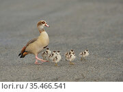Egyptian goose (Alopochen aegyptiaca) with chicks crossing the road. Hill Country, Texas, USA. Стоковое фото, фотограф Rolf Nussbaumer / Nature Picture Library / Фотобанк Лори