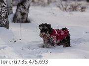 Цвергшнауцер в зимнем лесу. Редакционное фото, фотограф Михаил Панфилов / Фотобанк Лори