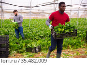African american farmer stacking boxes with Swiss chard. Стоковое фото, фотограф Яков Филимонов / Фотобанк Лори