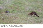 Wildcat (Felis silvestris) and Red fox (Vulpes vulpes) in field, Vosges, France. June. Стоковое фото, фотограф Fabrice Cahez / Nature Picture Library / Фотобанк Лори