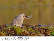 Black-crowned night-heron (Nycticorax nycticorax) with fish prey, Puerto Deseado, Patagonia, Argentina. Стоковое фото, фотограф Gabriel Rojo / Nature Picture Library / Фотобанк Лори