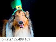 Portrait of a Rough Collie dog with saint patrick's day top hat. Стоковое фото, фотограф Zoonar.com/GABRIELA BERTOLINI / easy Fotostock / Фотобанк Лори