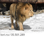 Beautiful and formidable Asiatic lion (Panthera leo persica) goes on snow in winter. Стоковое фото, фотограф Валерия Попова / Фотобанк Лори