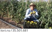 Satisfied farmer demonstrates box of ripe tomatoes on plantation. Стоковое видео, видеограф Яков Филимонов / Фотобанк Лори