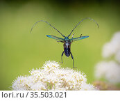 Musk beetle (Aromia moschata) flying off, Akershus / Viken, Norway, July. Стоковое фото, фотограф Pal Hermansen / Nature Picture Library / Фотобанк Лори