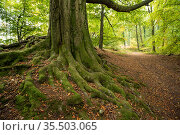 Ancient beech tree (Fagus sylvatica) with extensive spreading root system, Forest of Dean, UK, October 2020. Стоковое фото, фотограф John Waters / Nature Picture Library / Фотобанк Лори