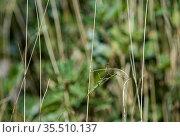 Im Grasland gut getarnte Europäische Gottesanbeterin (Mantis religiosa... Стоковое фото, фотограф Zoonar.com/mike / easy Fotostock / Фотобанк Лори