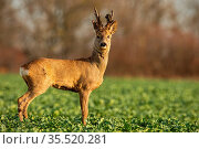 Roe deer stag at sunset with winter fur. Roebuck on a field with blurred... Стоковое фото, фотограф Zoonar.com/Jakub Mrocek / easy Fotostock / Фотобанк Лори