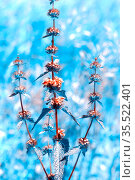Medicinal plant Tuberous zopnik (Phlomis tuberosa). Flowering plant in natural conditions. Стоковое фото, фотограф Акиньшин Владимир / Фотобанк Лори