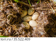 large duck eggs lying in the nest in the wild. Стоковое фото, фотограф Акиньшин Владимир / Фотобанк Лори