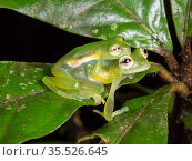 Santa Cecilia Cochran frog (Teratohyla midas), pair in amplexus in the rainforest understory, Yasuni National Park, Ecuador. Стоковое фото, фотограф Morley Read / Nature Picture Library / Фотобанк Лори