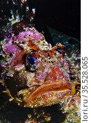 Brown sea scorpion (Scorpaena porcus). Eastern Atlantic. Galicia. ... Стоковое фото, фотограф Marevision / age Fotostock / Фотобанк Лори