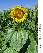 Sunflower with blue sky and cornfield. Baden-Baden, Baden Wuerttemberg... Стоковое фото, фотограф Horst Lieber / easy Fotostock / Фотобанк Лори