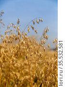 Golden ears of oat on the field. Стоковое фото, фотограф Ольга Сейфутдинова / Фотобанк Лори