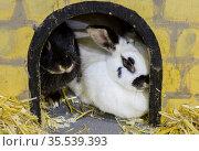 Декоративный карликовый кролик. Стоковое фото, фотограф Галина Савина / Фотобанк Лори