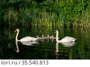 Mute swan, (Cygnus olor) pair with cygnets, near Turf Locks, Exeter Canal, Devon , UK. May. Стоковое фото, фотограф David Pike / Nature Picture Library / Фотобанк Лори