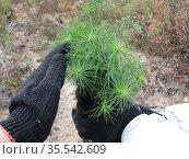 Несколько саженцев сосны обыкновенной в руках человека, восстанавливающего лес. Стоковое фото, фотограф Бабкина Марина / Фотобанк Лори