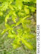 Весенние листья дуба черешчатого (Quercus robur L.) Стоковое фото, фотограф Ирина Борсученко / Фотобанк Лори
