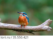 Eisvogel (Alcedo atthis) sitzt auf einem Ast. Eurasian kingfisher... Стоковое фото, фотограф Zoonar.com/Dirk Rüter / easy Fotostock / Фотобанк Лори