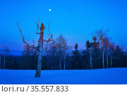 Wintry northern night landscape - leafless trees are barely lit by the rays of the rising sun. Стоковое фото, фотограф Евгений Харитонов / Фотобанк Лори