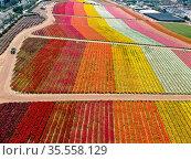 Aerial view of Carlsbad Flower Fields. tourist can enjoy hillsides... Стоковое фото, фотограф Zoonar.com/Thomas De Wever / age Fotostock / Фотобанк Лори