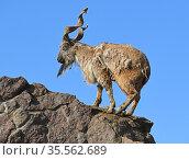 Old male markhor (Capra falconeri) on background of blue sky. Стоковое фото, фотограф Валерия Попова / Фотобанк Лори