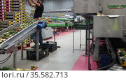 Employes in protective face masks sorting avocados at Sigfrido packing facility. Редакционное видео, видеограф Яков Филимонов / Фотобанк Лори