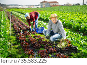 Male worker harvesting red lettuce on field and put in boxes. Стоковое фото, фотограф Яков Филимонов / Фотобанк Лори