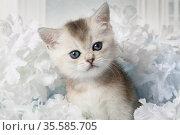 Portrait of a funny one month old Scottish kitty. Стоковое фото, фотограф Алексей Кузнецов / Фотобанк Лори