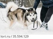 Alaskan Malamute Playing Outdoor In Snow, Winter Season. Playful Pets... Стоковое фото, фотограф Ryhor Bruyeu / easy Fotostock / Фотобанк Лори