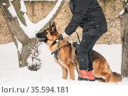 Training Of Purebred German Shepherd Young Dog Or Alsatian Wolf Dog... Стоковое фото, фотограф Ryhor Bruyeu / easy Fotostock / Фотобанк Лори