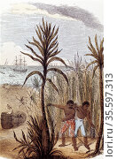 Slaves cultivating sugar cane in the West Indies. Hand-coloured wood... Редакционное фото, агентство World History Archive / Фотобанк Лори