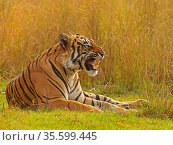 Bengal tiger (Panthera tigris) male, called Pi, Ranthambhore, India. Стоковое фото, фотограф Andy Rouse / Nature Picture Library / Фотобанк Лори