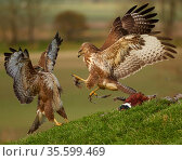 Common buzzard (Buteo buteo) two fighting over food, UK. November. Стоковое фото, фотограф Andy Rouse / Nature Picture Library / Фотобанк Лори