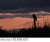 Common buzzard (Buteo buteo) perched at sunset, UK., November. Стоковое фото, фотограф Andy Rouse / Nature Picture Library / Фотобанк Лори
