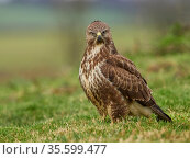 Common buzzard (Buteo buteo) in morning light, UK. November. Стоковое фото, фотограф Andy Rouse / Nature Picture Library / Фотобанк Лори
