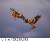 Two Red kites (Milvus milvus) fighting in mid-air, UK. November. Стоковое фото, фотограф Andy Rouse / Nature Picture Library / Фотобанк Лори