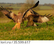 Two Red kites (Milvus milvus) fighting on the ground, UK. November. Стоковое фото, фотограф Andy Rouse / Nature Picture Library / Фотобанк Лори