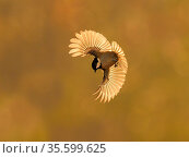 Coal tit (Periparus ater) in flight, Wales, UK. November. Стоковое фото, фотограф Andy Rouse / Nature Picture Library / Фотобанк Лори