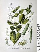 Culinary Pea (Pisum sativum): From A Masclef 'Atlas des Plantes de... Редакционное фото, агентство World History Archive / Фотобанк Лори