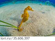 Short-snouted seahorse (Hippocampus hippocampus) male, Ponza Island, Italy, Tyrrhenian Sea, Mediterranean Sea. Стоковое фото, фотограф Franco Banfi / Nature Picture Library / Фотобанк Лори