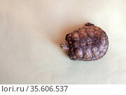 Red-eared turtle on light green background. Стоковое фото, фотограф Дарья Филимонова / Фотобанк Лори